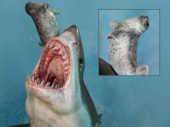 The Great White Shark (Carcharodon carcharias) Museum Series Statue