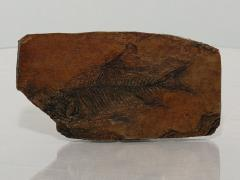 Fossilized Fish In Shale Replica
